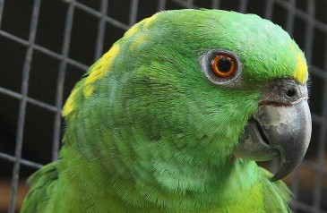 Amazona_auropalliata