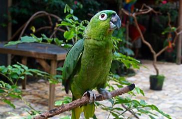 Amazona_farinosa