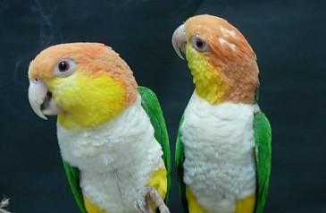 Caiques-cabeza-Amarilla