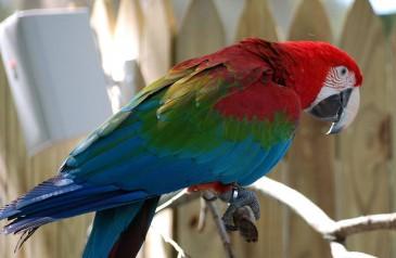 Guacamayo-rojo-de-alas-verdes