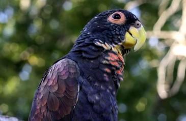 Pionus_chalcopterus-Alas-bronceadas