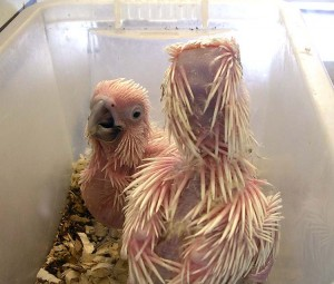 Polluelos de cacatúa