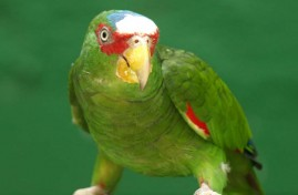 Amazona-de-frente-blanca