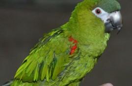 guacamayo-enano