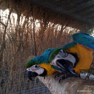 Fotos de nuestros araraunas papilleros.