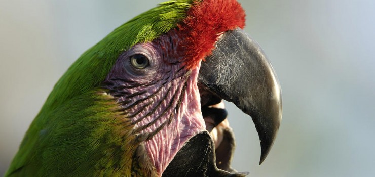a-buffons-macaw-ara-ambigua-joel-sartore