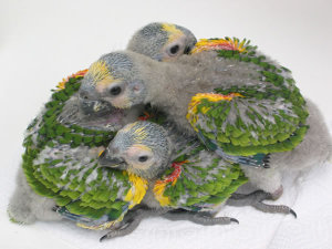 amazon-blue-fronted-parrot-chicks