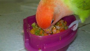 picaroon the lovebird eating