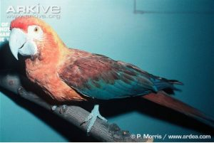 cuban-macaw-museum-specimen
