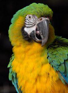 Bluffons Macaw