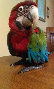 Jubilee Macaw