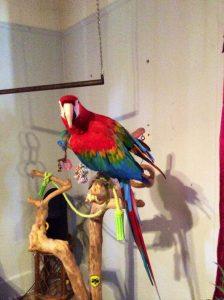 Ruby Macaw