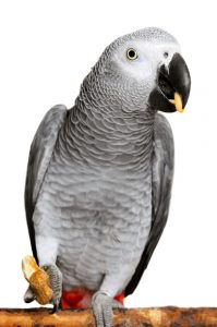 african-grey-parrot-eating-5