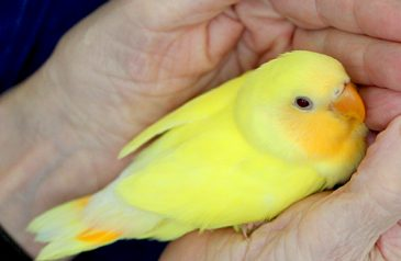 Lutino-Peach-Face-Love-Bird