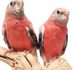 grass-parakeets