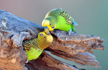 parakeets-love