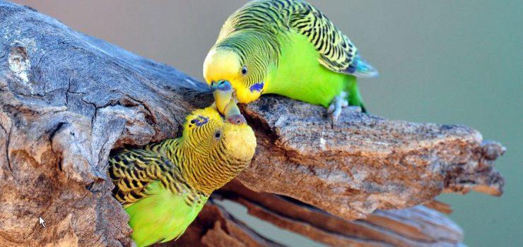 parakeets-love