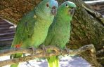 800px-Amazon_parrots_x2_Bird_Land_Leicestershire-4