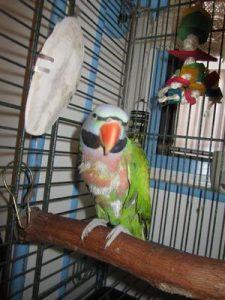 mustache-parakeetparrot-information-21694180