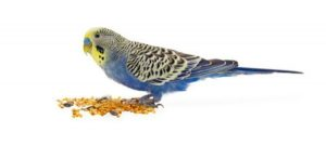 blog-featured-parakeet-seed