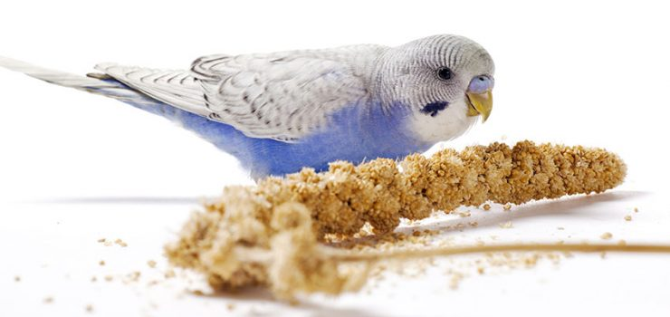 young_blue_budgie_eating_millet